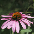 Pink Aster — Stock Photo