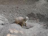 One marmot — Stock Photo