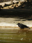 Crow in th water — Stock Photo