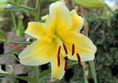 желтые лилии — Стоковое фото