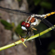 Dragonfly on a branch - Stock Photo