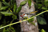 Dragonfly on a branch 2 — Stock Photo