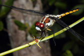 Dragonfly on a branch — Stock Photo