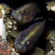 Twin Soapfish — Stock Photo