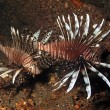 Lionfish, Invasive 1 — Stock Photo