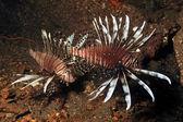 Lionfish, Invasive 1 — Stock Photo