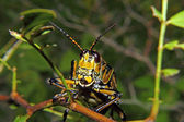 Eastern Lubber Grasshopper 2 — Stock Photo