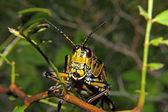 östra styrstreckets grasshopper 2 — Stockfoto