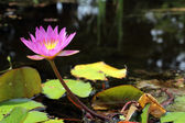 Beautiful Pink Water Lily 3 — Stock Photo