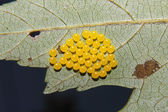 Yellow Insect Eggs — Stock Photo