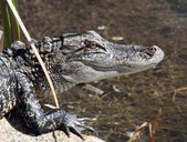 Juvenile Alligator — Stock Photo