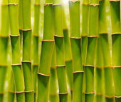 Green bamboo grove — Stock Photo