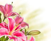 Blooming pink lily flower — Stock Photo