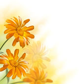 Blooming marigold flower — Stock Photo