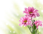 Pink blooming chrysanthemum flowers — Stock Photo