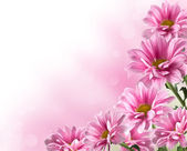 Pink blooming chrysanthemum flowers — Stock Photo