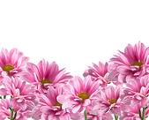 Pink blooming chrysanthemum flowers on white background — Stock Photo