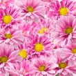 Pink chrysanthemum flowers — Stock Photo #13498640