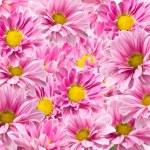 Pink chrysanthemum flowers — Stock Photo #13498640