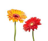 Two flowers of gerbera — Stock Photo