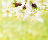 Spring blossoms twig — Stock Photo