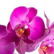 Stock Photo: Twig blossoming orchids