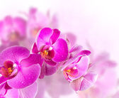 Flower blossoming orchids — Stock Photo