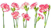 Set of blooming carnation — Stok fotoğraf