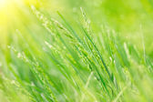 Spring green grass   — Foto de Stock