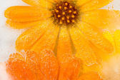 Marigold flower frozen in ice — Stock Photo