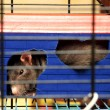 Gray rat in a cage close up — Stock Photo