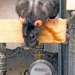 Rat in the industrial area - Stock Photo