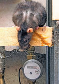 Rat in the industrial area — Stock Photo