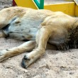 Dog lies on sand — 图库照片 #14358109