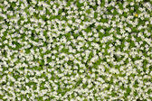 Small white florets — Stock Photo
