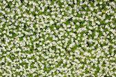 Small white florets — Stock Photo