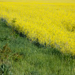 Rapeseed field. — Stock Photo