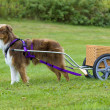 Australian Shepherd pulling a dog cart - Stock Photo