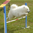 Samoyed - Stock Photo