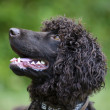 Irish Water Spaniel — Stock Photo