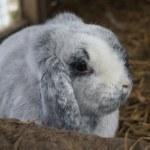 Grey Lop Eared Rabbit — Stock Photo
