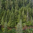 Stock Photo: Douglas fir forest