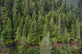 Douglas fir forest — Stock Photo