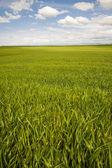 Tarwe velden onder een zomer wolken — Stockfoto