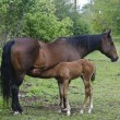 Stock Photo: Young horse nursing