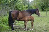 Young horse nursing — Stock Photo