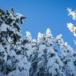 Fir forest covered in winter snow — Stock Photo #21847683