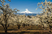 Spring apple orchards, Hood River Valley, Oregon — Stock Photo