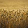 Stock Photo: Close up, wheat, harvest time