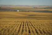 Wheat fields ready for harvest, Washington State — Stock Photo